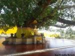 patung buddha di bawah pohon bodhi