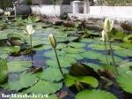 bunga teratai, khas agama buddha